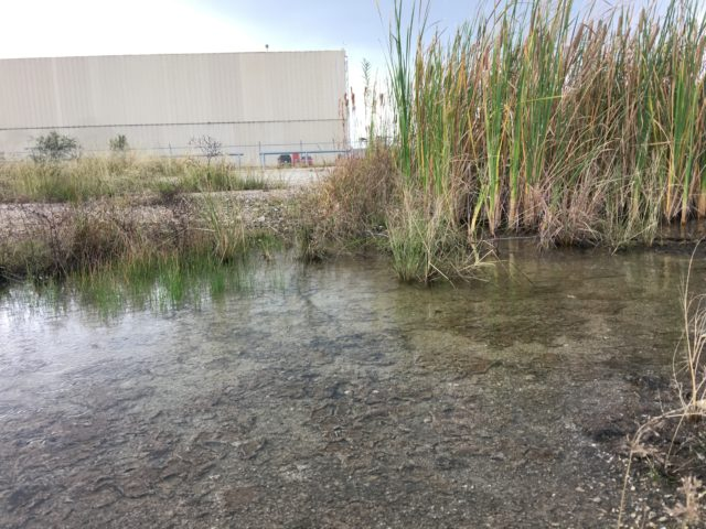 An aquatic microclimate in the periphery of an industrial facility in Greater Eastwood, Houston. Bulrush, Typha latifolia, native to North and South America, emerges, thriving in the accumulated stormwater.